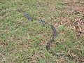 Anaconda Bolivia.jpg