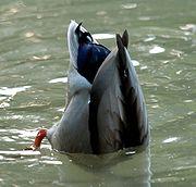 البط البري Anas platyrhynchos 180px-Anas_platyrhyn