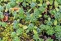 Androsace sarmentosa in La Jaysinia (2).jpg