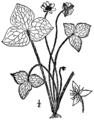 Anemone acutiloba BB-1913.png