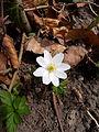 Anemone nemorosa flower.jpg