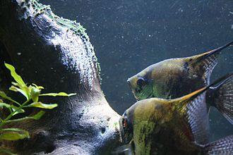 Pterophyllum - A Pterophyllum couple spawning