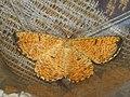 Angerona prunaria ♂ - Orange moth (male) - Пяденица сливовая (самец) (26041907747).jpg