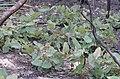 Angophora hispida DSC 4504 (27682080355).jpg