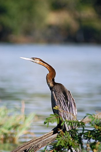 An African Darter on Chobe River front, Botswana.