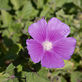 Anoda cristata - Fleur.jpg