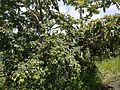 Anogeissus latifolia (15137215417).jpg
