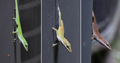 Anolis carolinensis color change.png