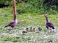 Anser anser with goslings - Orpington - 14.jpg