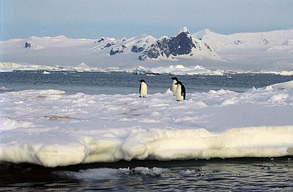 Antarctic, Penguins on icefloe (js) 5.jpg