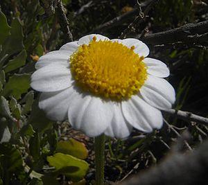Anthemideae - Anthemis maritima