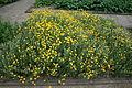 Anthemis tinctoria - Botanischer Garten Mainz IMG 5441.JPG