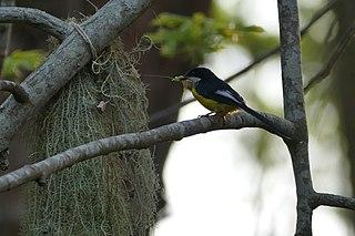White-winged apalis species of bird