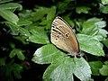 Aphantopus-hyperantus0087.jpg