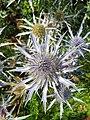 Apiales - Eryngium bourgatii - 5.jpg