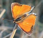 Apricot Playboy male 11 08 2010 med.JPG
