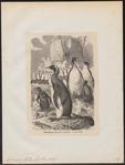 Aptenodytes forsteri - 1700-1880 - Print - Iconographia Zoologica - Special Collections University of Amsterdam - UBA01 IZ17800259.tif