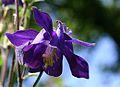 Aquilegia (Columbine) Plant In Flower Hampshire UK.jpg