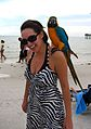 Ara ararauna -parrot perching on shoulder -Fort Myers Beach-8b.jpg