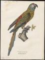 Ara maracana - 1842-1855 - Print - Iconographia Zoologica - Special Collections University of Amsterdam - UBA01 IZ18500105.tif