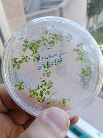 Genetically modified organism - Tissue culture used to regenerate Arabidopsis thaliana