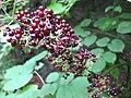 Aralia racemosa 1.jpg