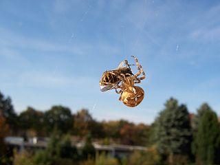 Križiak obyčajný - samička s korisťou