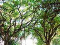 Arbres à lianes - Jardin d'essai El Hamma - Alger.JPG