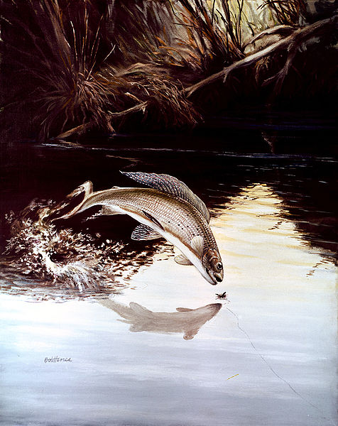File:Arctic Grayling.jpg