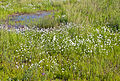 Arctic cottongrass in wetland near Inuvik, NT.jpg