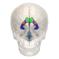Areas of Lateral ventricle - 01.png