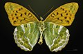 Argynnis paphia MHNT CUT 2013 3 24 PONT GERENDOINE Male Ventral.jpg