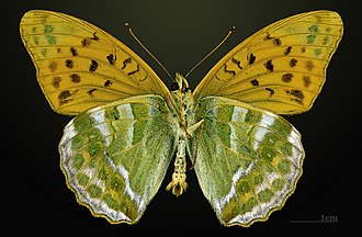 Silver-washed fritillary - Image: Argynnis paphia MHNT CUT 2013 3 24 PONT GERENDOINE Male Ventral