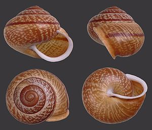 Gastropod shell - Four views of a shell of Arianta arbustorum: Apertural view of (top left), lateral view (top right), apical view (bottom left), and umbilical view (bottom right).