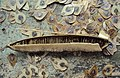 Aristolochia ringens 10.JPG
