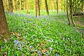 Arncliffe Wood, Bluebells - geograph.org.uk - 1290464.jpg