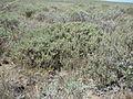 Artemisia arbuscula (6104128628).jpg