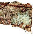 Arthonia caesia-1.jpg