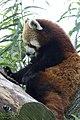 Artis Red Panda (36074989142).jpg