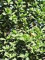 Artocarpus altilis-4-polonnaruwa-Sri Lanka.jpg