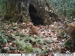 Arunachal macaque on a camera trap in Eaglenest Wildlife Sanctuary.JPG
