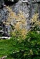 Aruncus dioicus ENBLA04.jpg