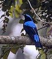 Asian Fairy Bluebird. AMSM2439.jpg