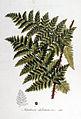 Aspidium dilatatum — Flora Batava — Volume v7.jpg