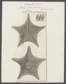 Asterias reticulata - - Print - Iconographia Zoologica - Special Collections University of Amsterdam - UBAINV0274 108 08 0003.tif