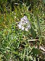 Astragalus alpinus RHu 01.JPG