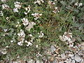 Astragalus australis 001.JPG