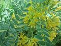 Astragalus macrocarpus in Nahal Tut (4).jpg