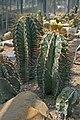 Astrophytum ornatum 2pr.jpg