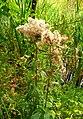 Atlas roslin pl Sadziec konopiasty 9581 6970.jpg